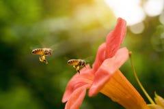 La abeja de la miel del vuelo que recoge el polen de los radicans anaranjados de Campsis florece Fotos de archivo libres de regalías