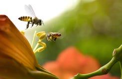 La abeja de la miel del vuelo que recoge el polen de los radicans anaranjados de Campsis florece Fotografía de archivo