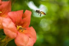 La abeja de la miel del vuelo que recoge el polen de los radicans anaranjados de Campsis florece Imagen de archivo