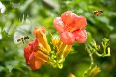La abeja de la miel del vuelo que recoge el polen de los radicans anaranjados de Campsis florece Fotografía de archivo libre de regalías