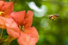 La abeja de la miel del vuelo que recoge el polen de los radicans anaranjados de Campsis florece Imágenes de archivo libres de regalías