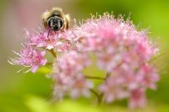 La abeja de la miel descansa sobre una flor rosada grande Imágenes de archivo libres de regalías