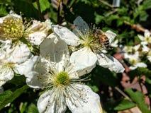 La abeja de la miel en Blackberry florece en Utah América los E.E.U.U. Imagenes de archivo