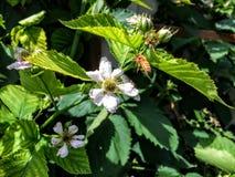 La abeja de la miel en Blackberry florece en Utah América los E.E.U.U. Fotos de archivo libres de regalías