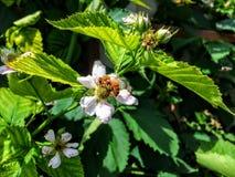 La abeja de la miel en Blackberry florece en Utah América los E.E.U.U. Foto de archivo libre de regalías