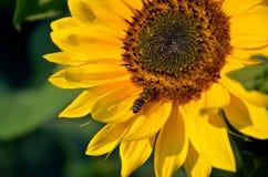 La abeja de la miel en el girasol en la floración recoge el néctar y el polen de la flor en sol Imagen de archivo libre de regalías