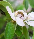 La abeja de la miel en el manzano florece el primer del flor Imagen de archivo