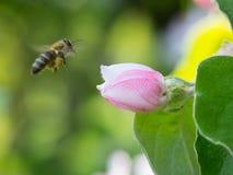 La abeja de la miel en el manzano florece el primer del flor Foto de archivo