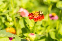 La abeja de la miel en lado izquierdo de la flor roja del amarillo anaranjado domina verano tardío con los sacos del polen en leg Fotos de archivo libres de regalías