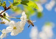 La abeja de la miel en una flor blanca recoge el polen en un backgr del cielo azul Imagen de archivo libre de regalías