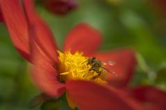 La abeja de la miel está apuntando para la flor roja Imágenes de archivo libres de regalías