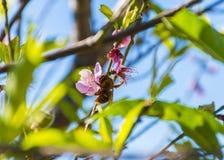 La abeja de la miel está pululando una flor hermosa Foto de archivo