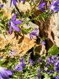 La abeja de la miel fertiliza la flor Fotos de archivo libres de regalías