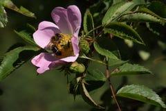 La abeja de la miel poliniza la flor Foto de archivo libre de regalías