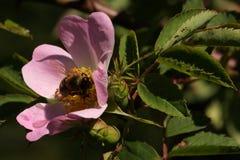 La abeja de la miel poliniza la flor Fotos de archivo