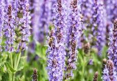 La abeja de la miel poliniza las flores de la lavanda, escena natural estacional Fotografía de archivo