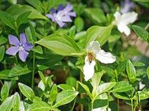 La abeja de la miel poliniza trilliums Imagen de archivo