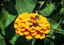 La abeja de la miel poliniza una flor amarilla Fotografía de archivo