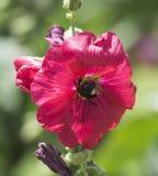 La abeja de la miel que recoge el polen en un hibisco púrpura florece Foto de archivo