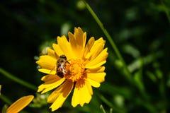 La abeja de la miel que recolectaba el interior del polen floreció flor amarilla en Garde Foto de archivo