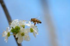 La abeja de la miel que se acerca en vuelo a la cereza floreciente de la cera florece Foto de archivo