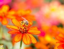 La abeja de la miel recoge el néctar anaranjado de la flor Fotografía de archivo libre de regalías