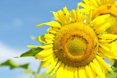 La abeja de la miel recoge el néctar de la flor Fotos de archivo libres de regalías