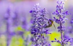 La abeja de la miel recoge el néctar de la flor Imagenes de archivo