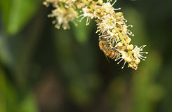 La abeja de la miel recoge el néctar de la flor de la flor del longan en granja Fotos de archivo
