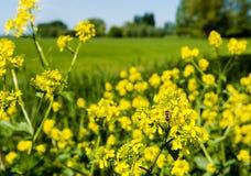 La abeja de la miel recoge el néctar de la rabina floreciente amarilla Imagen de archivo libre de regalías