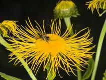 La abeja de la miel recoge el néctar en la macro de la flor del amarillo de Telekia Speciosa, foco selectivo, DOF bajo Imagenes de archivo