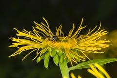 La abeja de la miel recoge el néctar en la macro de la flor del amarillo de Telekia Speciosa, foco selectivo, DOF bajo Imagen de archivo