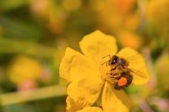 La abeja de la miel recoge el néctar en una flor amarilla Fotos de archivo libres de regalías