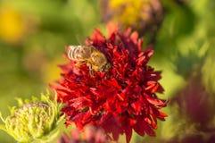 La abeja de la miel recoge el néctar rojo de la flor en el jardín Foto de archivo libre de regalías