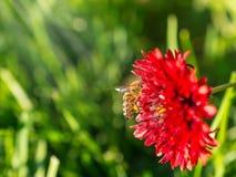 La abeja de la miel recoge el néctar rojo de la flor en el jardín Fotos de archivo