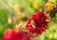 La abeja de la miel recoge el néctar rojo de la flor en el jardín Foto de archivo
