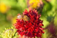 La abeja de la miel recoge el néctar rojo de la flor en el jardín Imágenes de archivo libres de regalías