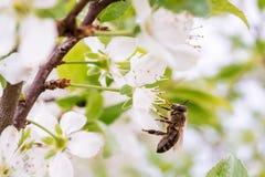 La abeja de la miel recoge el polen de la flor blanca en árbol floreciente Imagen de archivo