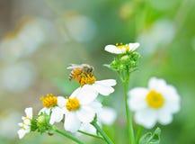 La abeja de la miel recoge la flor blanca Imagenes de archivo