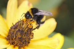 La abeja de la miel recoge la miel en la flor Imágenes de archivo libres de regalías