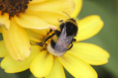 La abeja de la miel recoge la miel en una flor Fotos de archivo libres de regalías