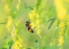 La abeja de la miel recolecta el néctar de las flores amarillas del trébol en un summ Fotografía de archivo libre de regalías