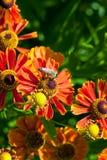 La abeja de la miel sorbe el néctar de la flor del gaillardia Fotografía de archivo
