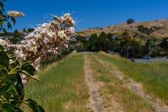 La abeja de la miel vuela cerca de la flor por el camino viejo Foto de archivo libre de regalías