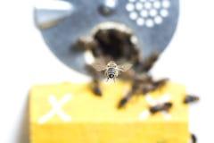 La abeja de la miel vuela el pura sangre en su colmena que el apicultor marcó Imagen de archivo libre de regalías