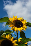 La abeja de la remolque que se sienta en el girasol uno está volando con el cielo azul Fotos de archivo