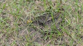 La abeja de la tierra cava un agujero para sí mismo almacen de video