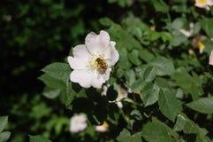 La abeja de mayo en una flor de salvaje subió Foto de archivo