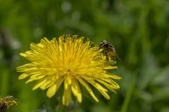 La abeja de la miel del vuelo recoge el polen de las flores Fotografía de archivo libre de regalías