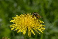 La abeja de la miel del vuelo recoge el polen de las flores Imagenes de archivo